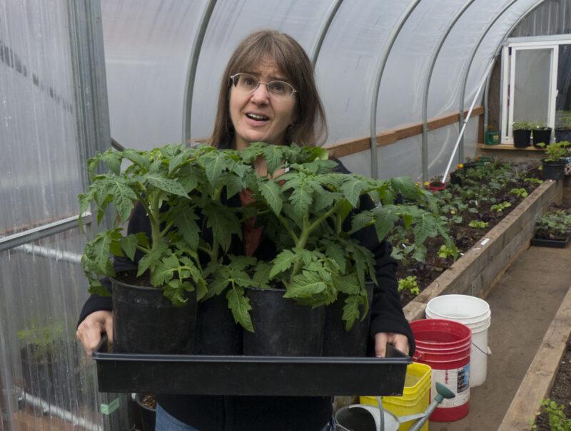 tomato, plants, gardening, greenhouse, growing tomatoes, seedlings, organic