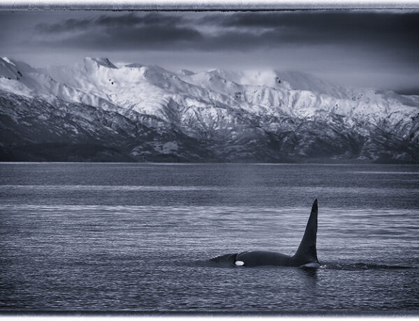 Orca, whales, ocean, Kodiak, Alaska, mountains