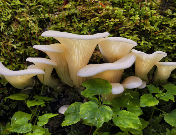 Angel Wings, Pleurocybella porrigens, mushrooms