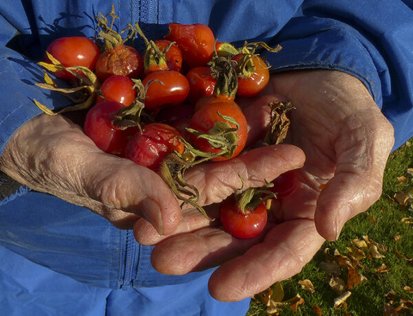 rose hips, wild harvest, hands, red