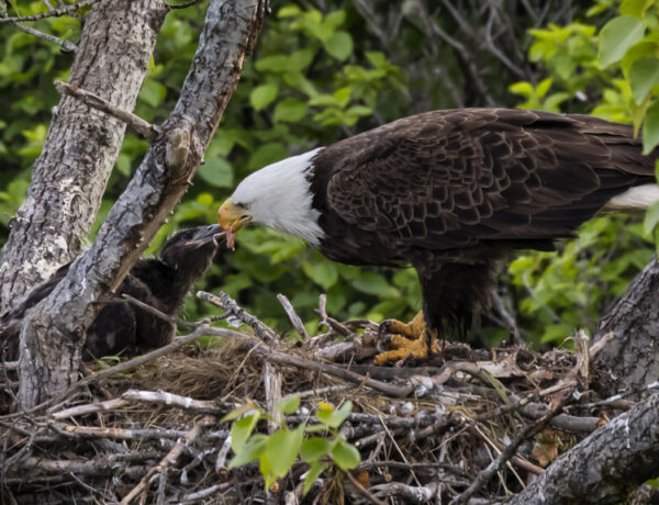 bald, eagle, nest, Alaska, Kodiak, chick, immature, raptor, Haliaeetus leucocephalus