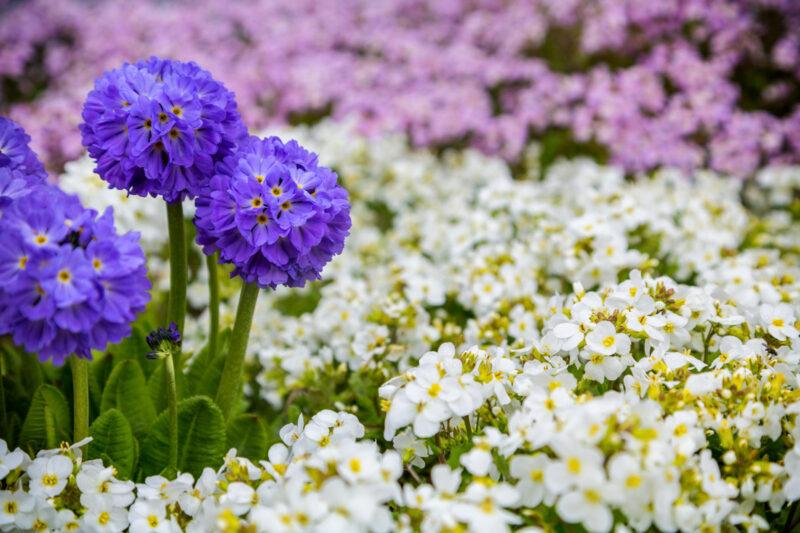 Flowers, primrose, drumstick, garden, Alaska, organic, spring
