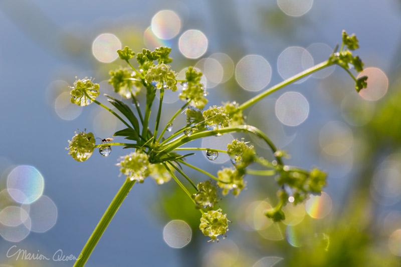 Celery, garden, photograph, sparkles, macro, seeds, Marion Owen, Kodiak, Alaska
