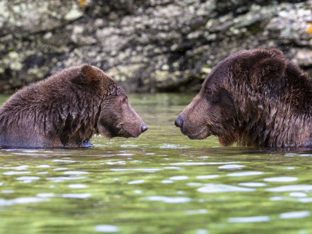 Brown, bears, Kodiak, Coastal, photography, photographs