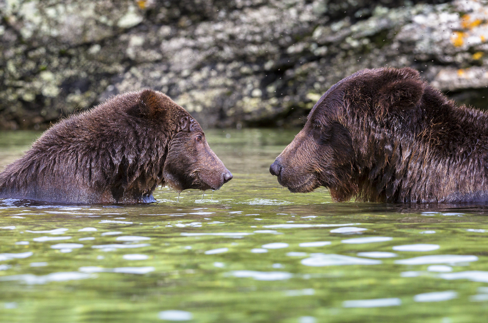 Brown, bears, Kodiak, Coastal
