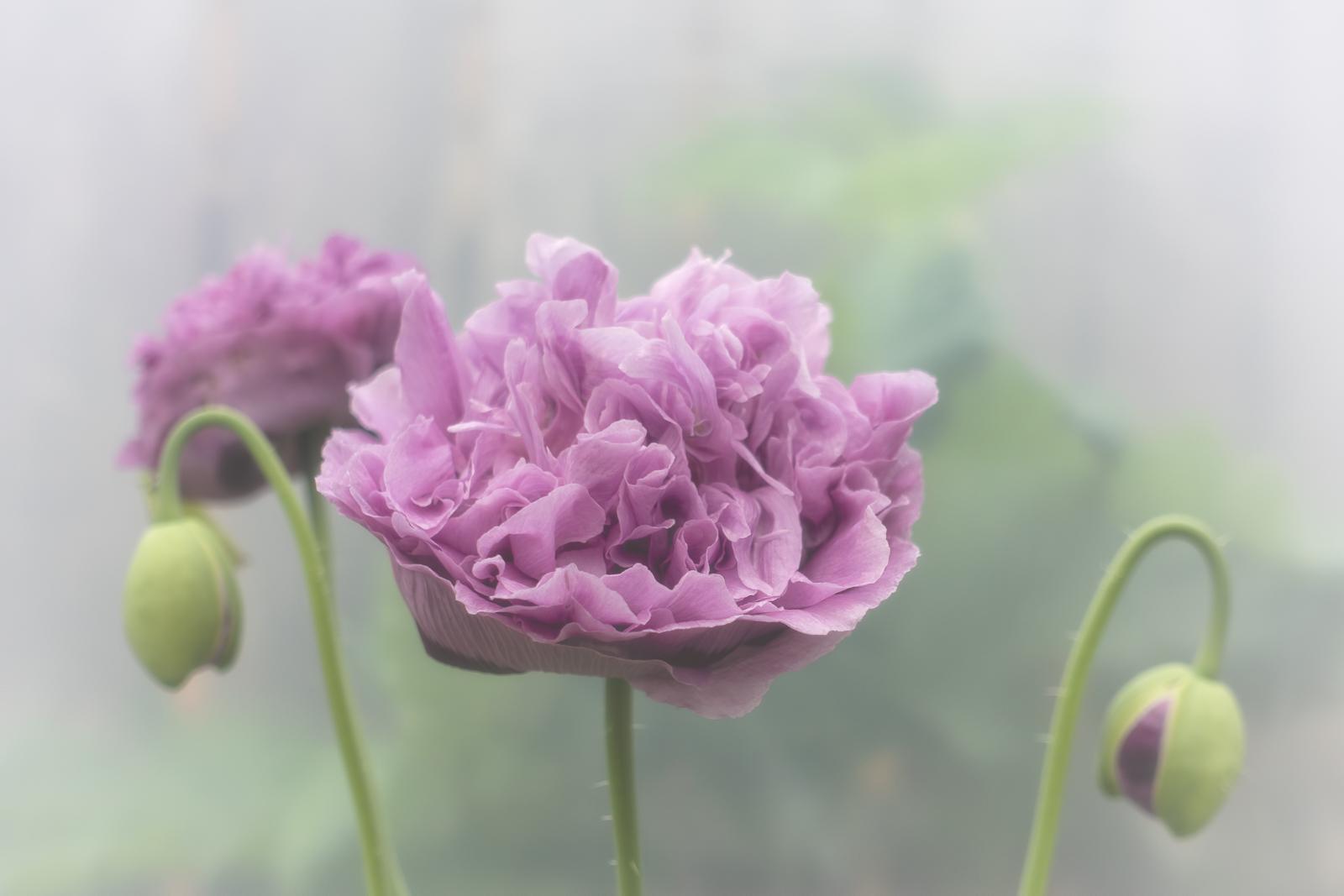 Poppy, pink, flower, garden