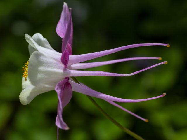 columbine, flower, Kodiak, Alaska, photography, photographs