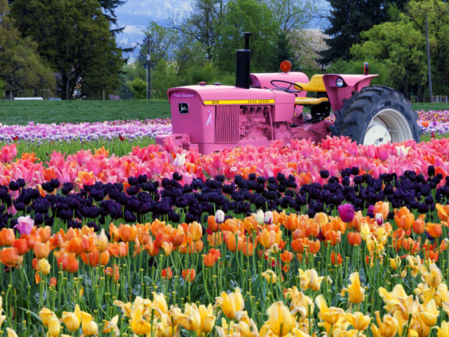 Breast Cancer Survivor, tulip farm, Oregon, tractor, photography, photographs