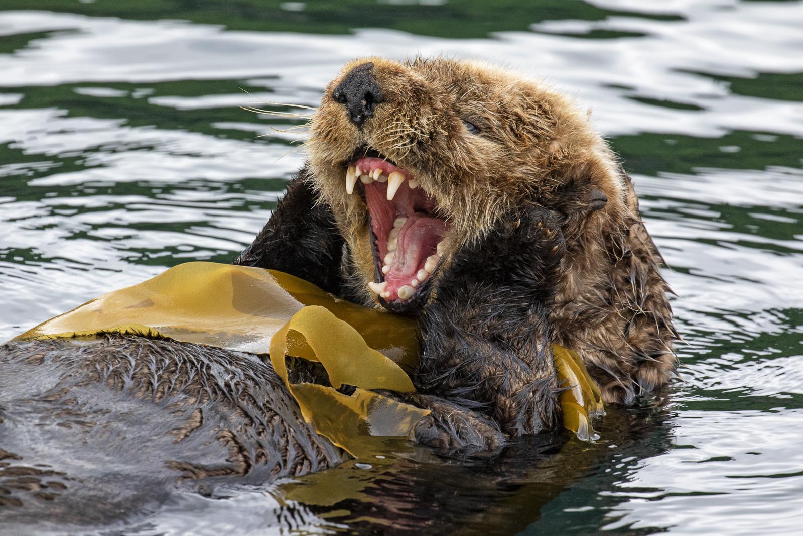 Sea otter, Kodiak, Alaska