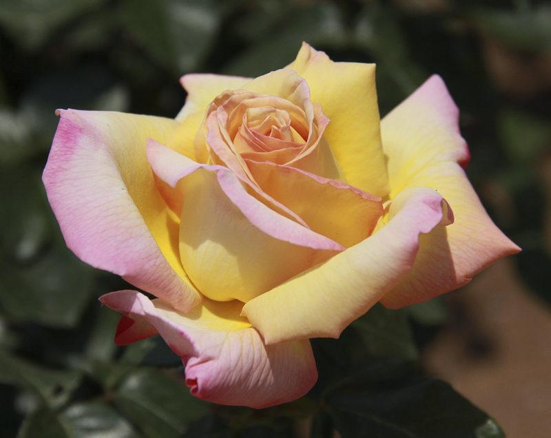 Peace Rose, Organic Gardening