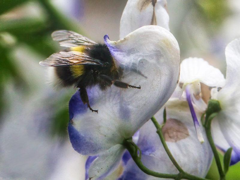 Alaska nature photography, bumblebee