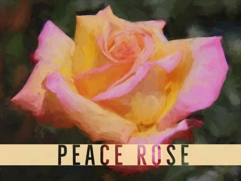 Peace, rose, flower, WWII, WW2, Chicken Soup for the Gardener's Soul