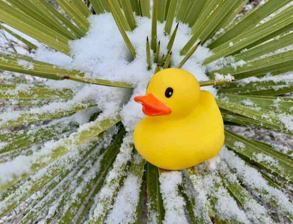 rubber ducky, bucket list ideas, Joshua Tree National Park, snow, cactus, nature photography