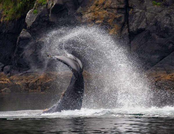 humpback whale flipping its tail