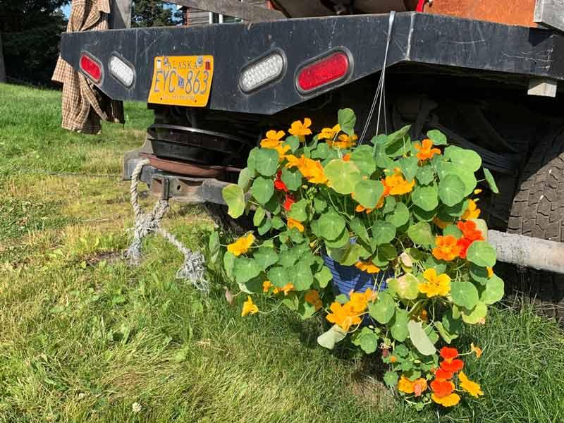 nasturtium flowers in an Alaska garden