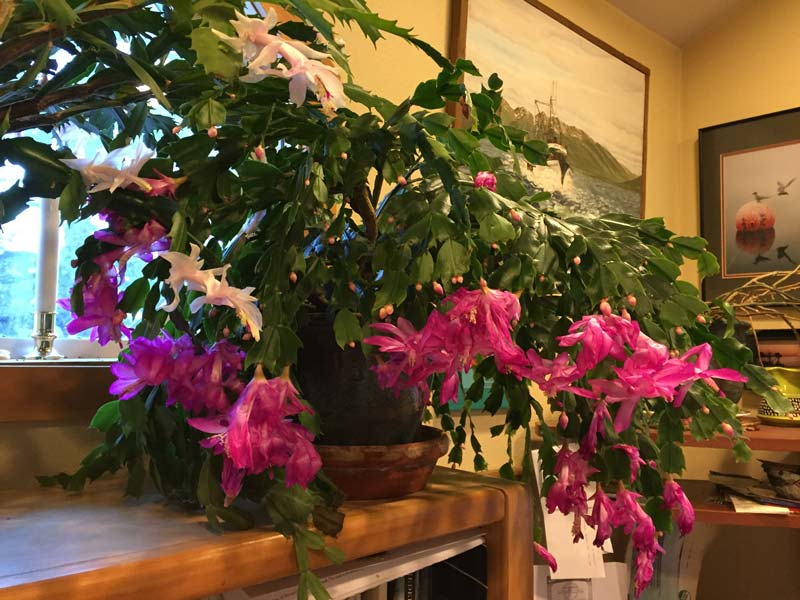 Christmas cactus blooming in Kodiak, Alaska home