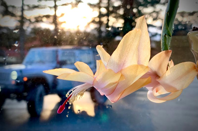 A Christmas cactus blooms in the window at my dentist office