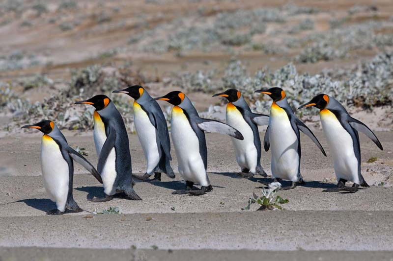 Penguins march to the ocean