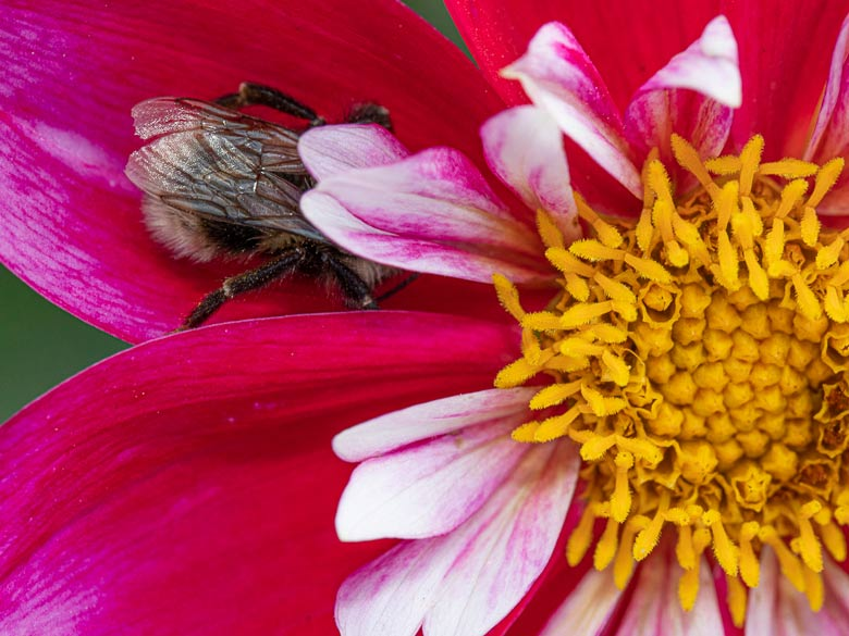 Bumblebee resting on a red dahlia flower
