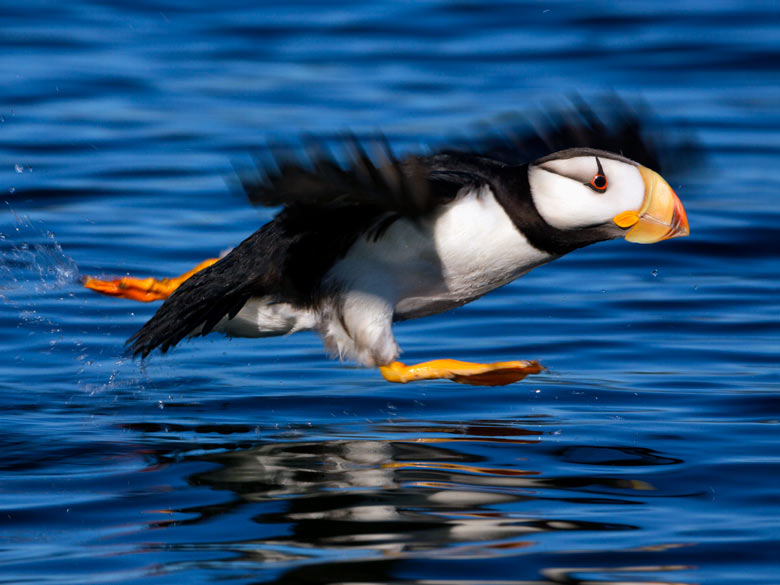 puffin taking off from water