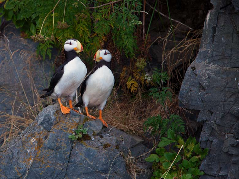 portrait of a pair of puffins