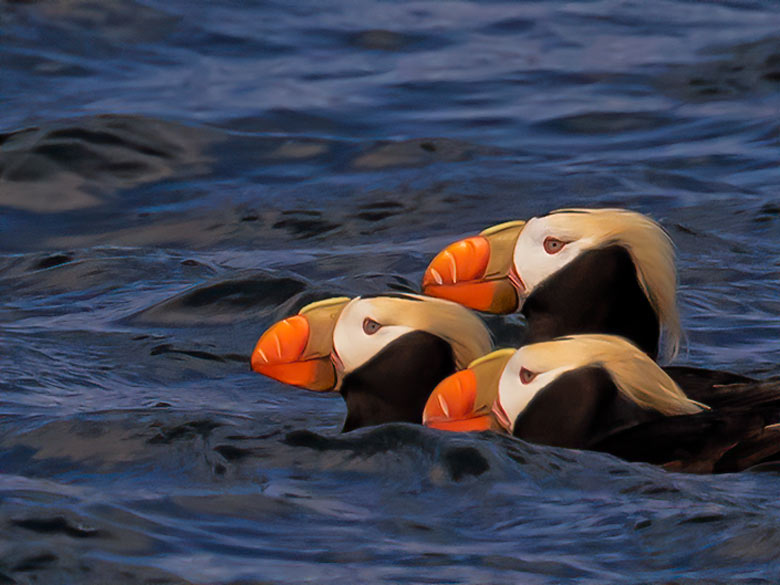 """a group or """"circus"""" of puffins"""