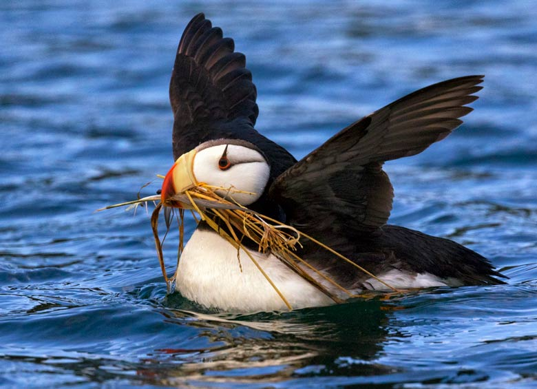 puffin gathers nesting materials