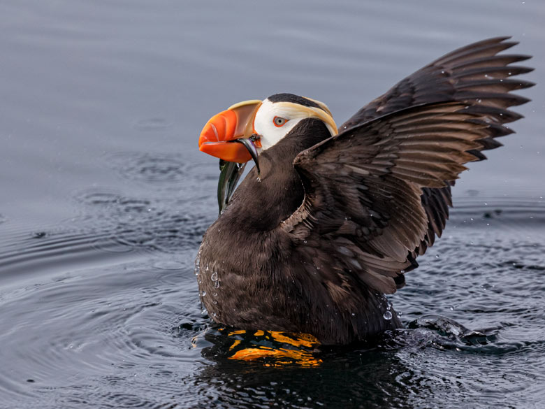 tufted puffin holding fish in its beak