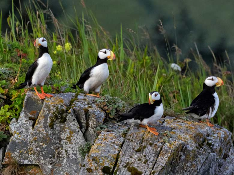 horned puffins on a cliff