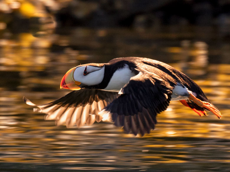 flying puffin, backlit