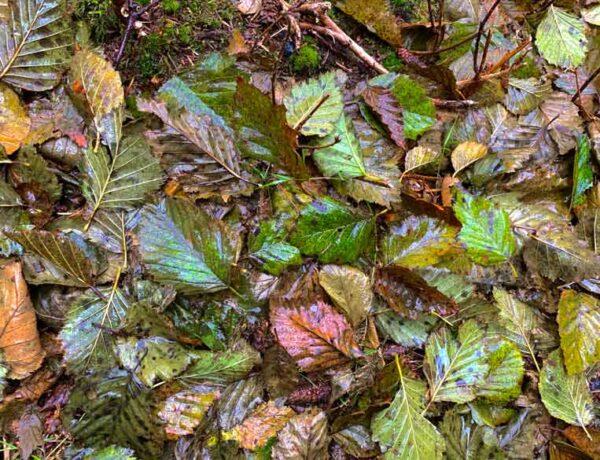 Alder leaves nutrients