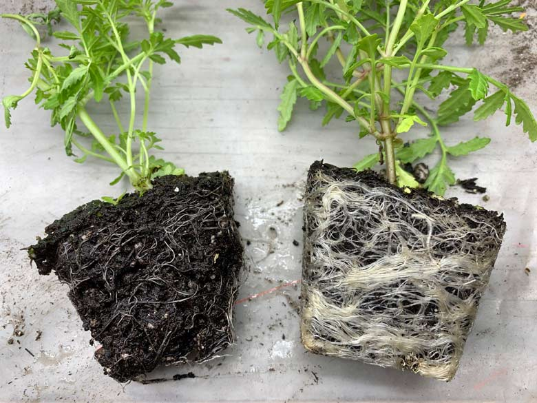 Comparing roots of seedlings